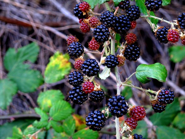Blackberry-Bush-3